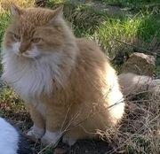 Mix- Katze Kater 13 Jahre