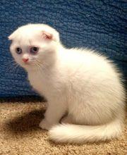 BKN Scottish Fold Kitten Mädchen
