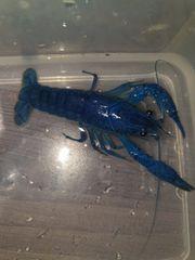 Blauer Floridakrebs 8 cm ca