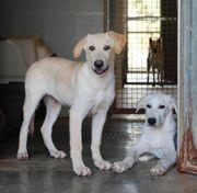 Labrador Mix 5 Monate