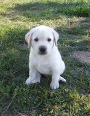 Weiße Labrador Welpen abzugeben