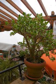 Geldbaum Pfennigbaum viele Jahre alt