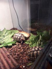 Griechische Landschildkröte mit Terrarium