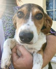 6 Beagle Mix 5 Monate