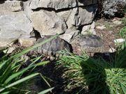 Breitrandschildkröten NZ 2010