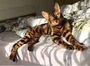 Traumhaft schöne reinrassige Bengal Kitten