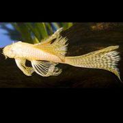 Suche Ancistrus Corydoras in Long