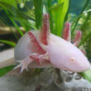 2 Axolotl weibl 3 Jahre
