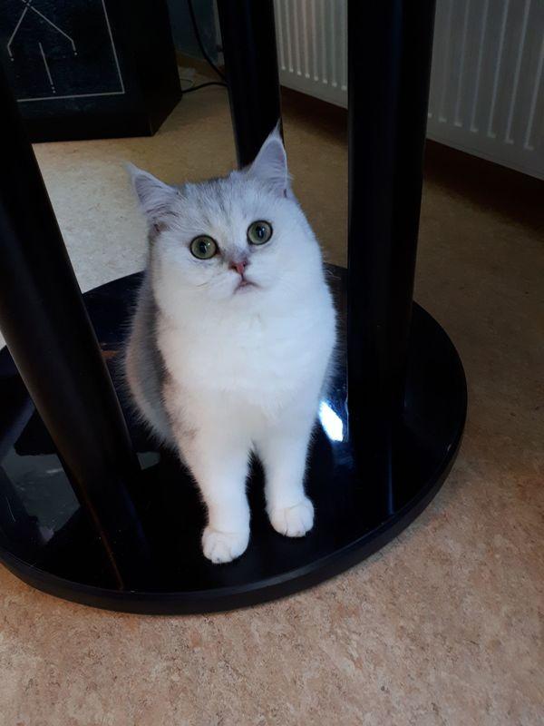 Wunderschöne BKH Katze mit Stammbaum - Ludwigsburg - Britisch KurzhaarjungUnsere wunderschöne Katze ist am 18.12.17 geboren.Bei Abgabe sie ist geimpft, entwurmt und sozialisiert. Sie ist sehr nett, zart und hübsch.Bei weitere Fragen gerne zur Verfügung: 017645616656. Weitere Angaben: weibli - Ludwigsburg