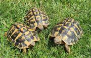 2 4 Griechische Landschildkröten Thh