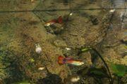 Fische kleine Guppys zu verschenken