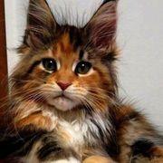 Suche Babykatze dreifarbig Maine Coon