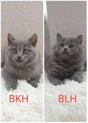 Reinrassige BKH BLH Kitten AUSZUGSBEREIT
