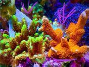 Korallen SPS Ableger LPS auch