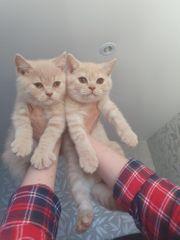BKH Kitten noch zwei frei
