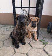 Cane Corso x Schäferhund