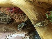 Leopardgecko aus Hobbyhaltung reserviert