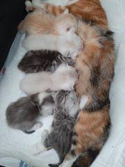Unsee BKH Katze hat 10