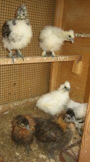 Seidenhuhn Seidenhühner - Küken von Mai