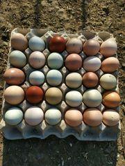 Naturbunte Brut- Eier von meinen