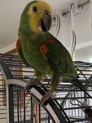 Blaustiernamazonen Papageien