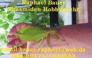 Phasmiden Stabschrecken Gespenstschrecken wandelnde Blätter