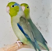 Junge Blaugenick-Sperlingspapageien zu verkaufen
