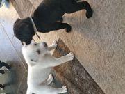 Labrador-Mix Welpen