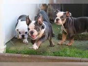 Englische Bulldoggen in Blue tan1 000