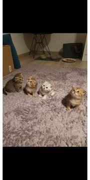 BKH Kitten Gold