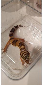 Leopardgeckos 0 1 W ca
