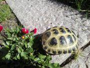 Landschildkröten 2 und 3 jährig