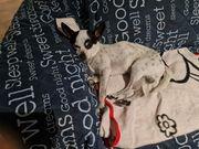 Super toller Chihuahua deckrüde kein