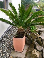 Palme Palmfarn