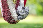 Britisch Langhaar Kitten im Whiskas-Look