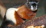 schönhörnchen zuchtpaar