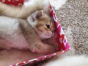 Scottish Fold und Straight Kitten