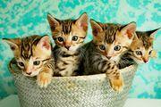Wunderschöne Reinrassige Bengal Kätzchen