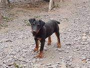Hund Jagdterrier Welpen Terrier