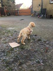 Tibet-Terrier- Labrador-Mischling