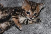 Bengal Katzenbabys Bengalen Kitten Mit