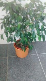 Benjamin Ficus