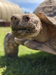 Centrochelys Sulcata-Spornschildkröte m 19 Jahre