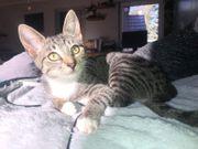 Katze Jeanny 10 Monate geimpft