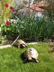 Griechische Landschildkröten vier Böcke aus
