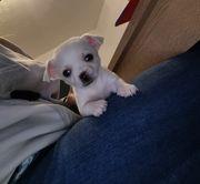 Süße kleine chihuahua Babys