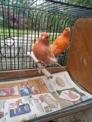 rote Kanarien Kanarienvögel