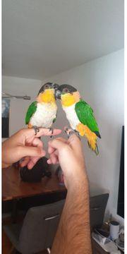 2 handzahme liebe Papageien