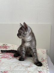 Bkh grau gestreift Kitten zu