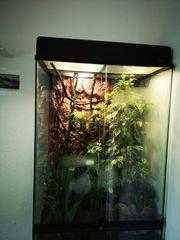 Terrarium karibische Anolis Marmoratus